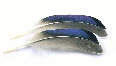 Mallard Duck Wing Quills Blue/White Tips