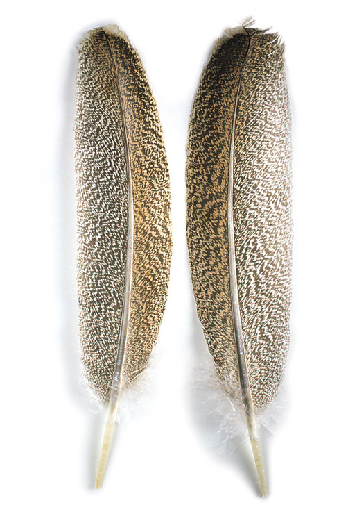 Oak Mottled Wing Quills